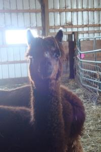 alpacas 001
