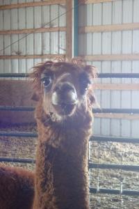 alpacas 002