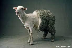 sheepshear2